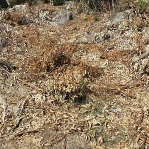 Biomass eucaliptos