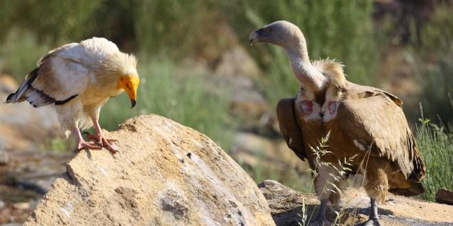 Vogelbeobachtungen, Faia Brava