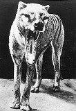 Тасманський вовк