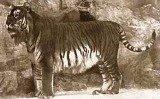 Туранський тигр