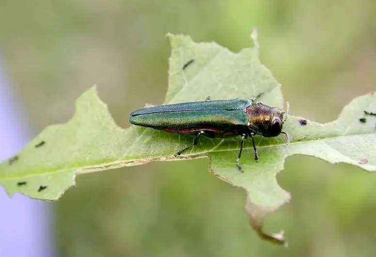 The Emerald Ash Borer is an invasive insect that eats up ash trees. This is an image of the insect on a leaf.