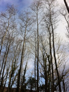 This is our largest grove of Alder, again it developed close to the hedge and has other species developing as an understory. It was left un-managed for 15 years hence the trees been so skinny and tall. We had taken out a few Alder here last week but I was told to take out about another 30 percent, marking first the strongest, straightest specimens to keep, and creating light gaps around these trees' crowns (the top part of the tree) by removing competing, less vigourous or less straight trees.