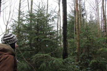 These conifers (25yrs old! but like bonsais) will burst into life when the shade of the Alders are removed!
