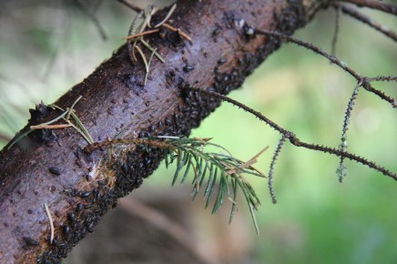 The sitka spruce seemed to be exuding a lot of sap this year,