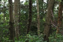 Dying alder is an important food for shelf fungi