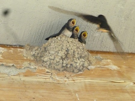 Swallows nesting in Knossos Palace, Crete.  Photo Chris Fremantle