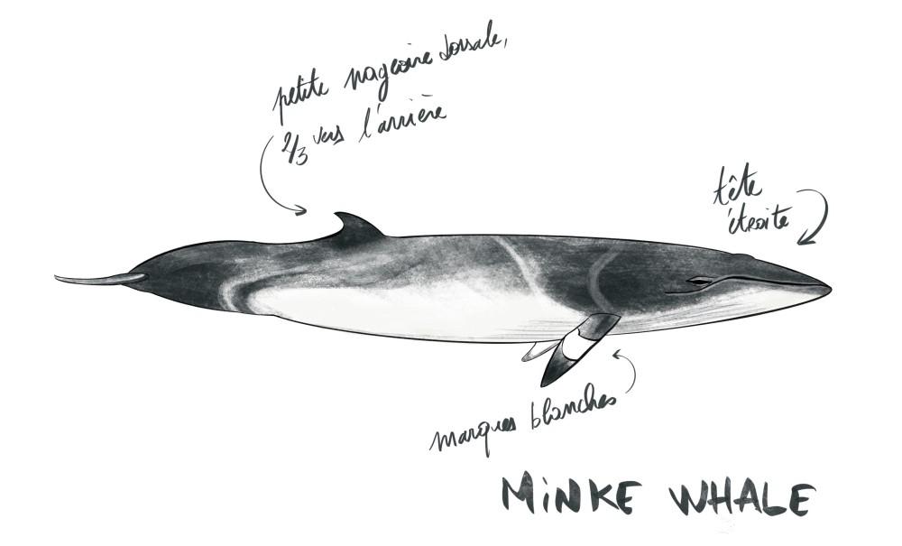 Les baleines de Minke en Ecosse