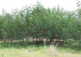 alien invasive trees