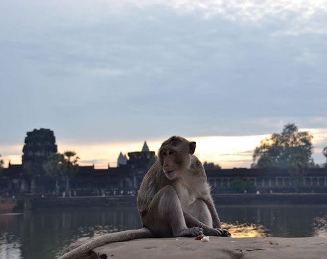 A monkey posing in front of Angkor Wat