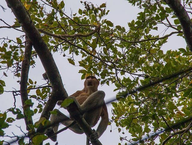 A Prosboscis Monkey watching us from a tree