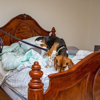 Canine bed bug dection dc