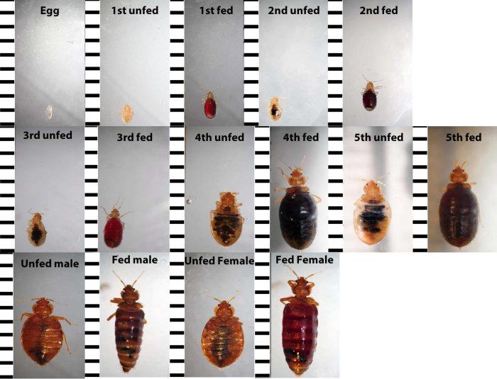 Bed Bugs Amp More Bed Bug Exterminators Washington DC MD VA