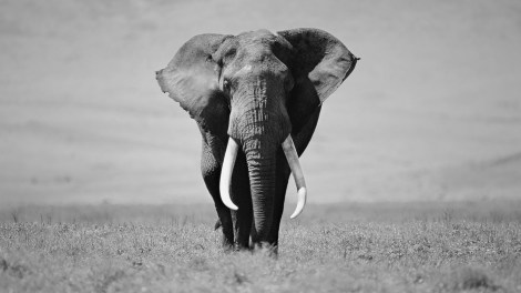 elephant-pictures-black-and-white-27199-hd-wallpapers