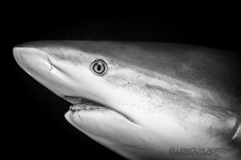 Cayman Reef Shark