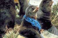 sealion-with-plastic-netting275