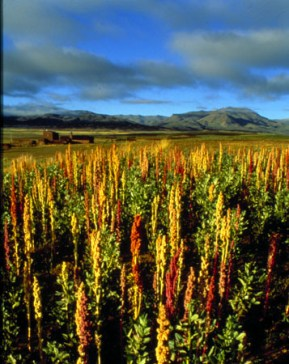 quinoa cultivation in Peru