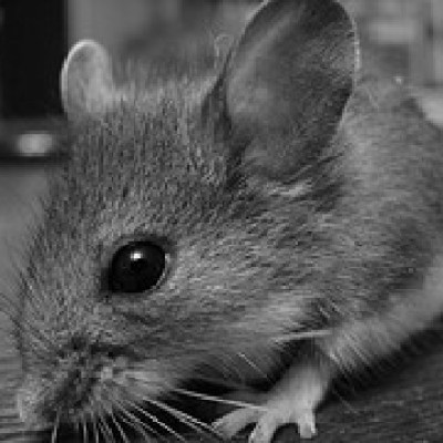 "New MU Study:  BPA ""Demasculinized"" Mice Making Them Undesirable"