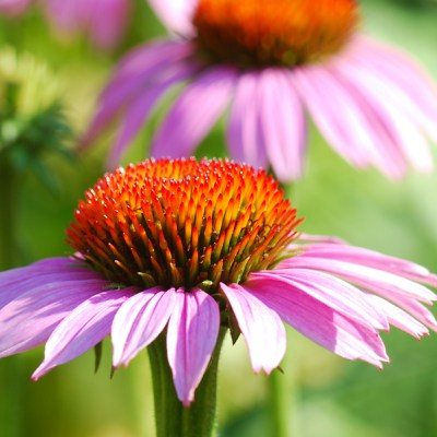 Natural remedies:  The power of echinacea in fighting springtime colds and allergies