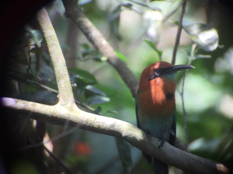 Motmot birds of Panama