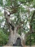 Найкрасивіше дерево України – 900 річний дуб Грюнвальда