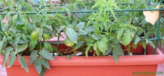 cultivo tomates en jardineras Como cultivar con macetas y no morir en el intento (Primera parte)