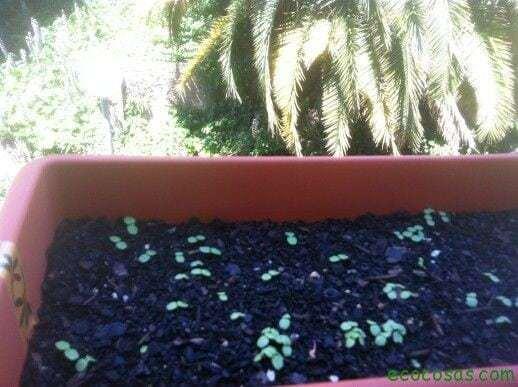 ecocosasIMG 0538 Como cultivar con macetas y no morir en el intento (Segunda parte)
