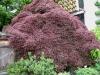 ацер палматум