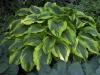 hosta-aurea-marginata