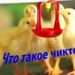 什么是chtenonik?其用于鸟类,兔子,土耳其的说明