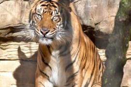 Male Sumatran Tiger