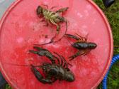 Crayfish-Surveys