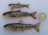 salmon parr