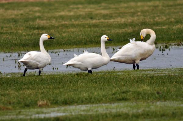 Bewick's-swans