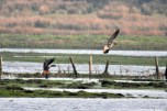 Greenland white-fronted geese (1)