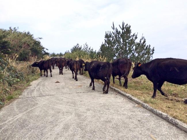 牛の移動に参加