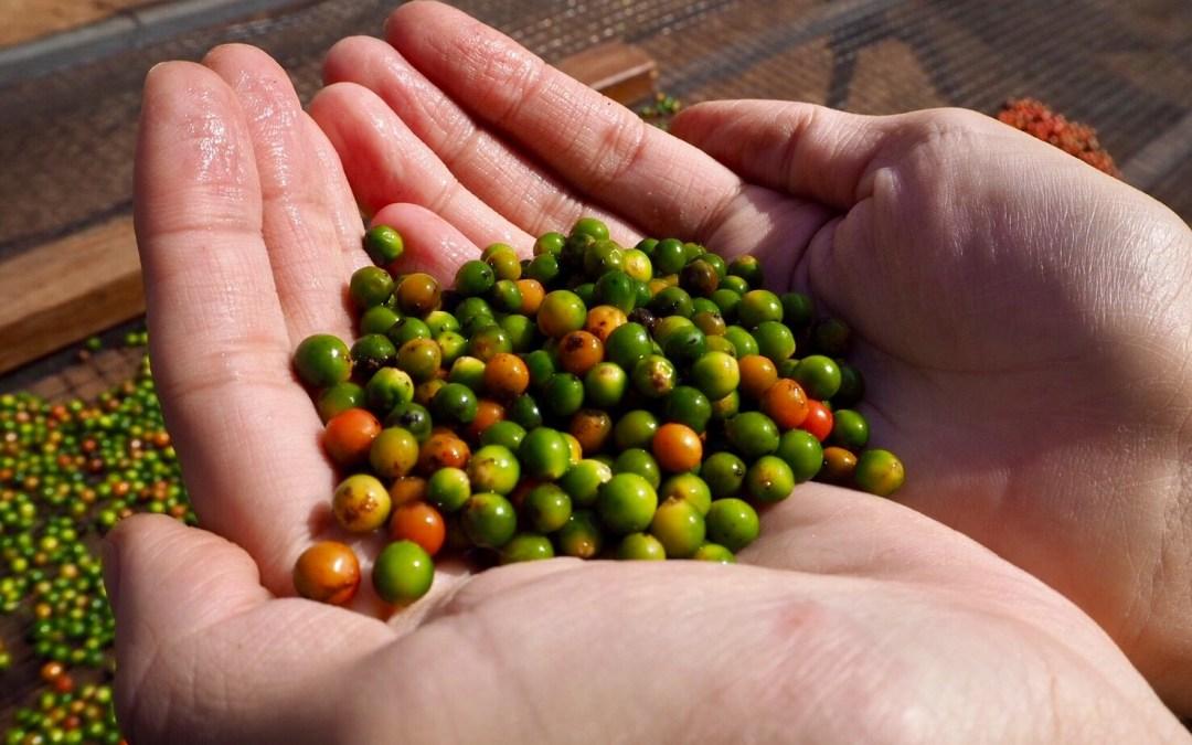 世界的にも珍しい無農薬栽培の胡椒