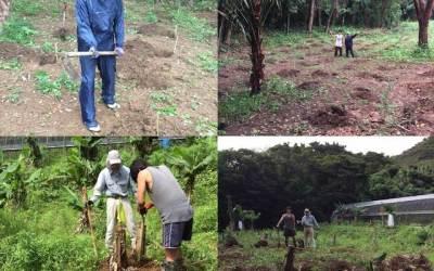バナナ栽培