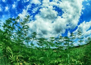 Hemp plants under a blue sky