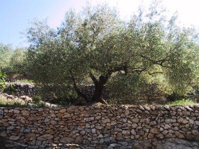 "Olive tree ""Morrut"""