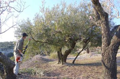 Olivos de copa baja