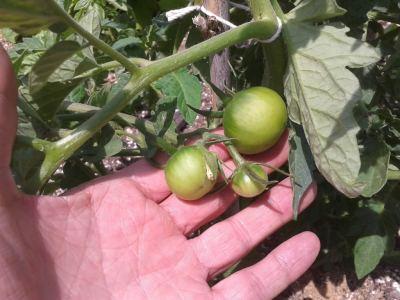 tomates después de 1 mes y 5 días