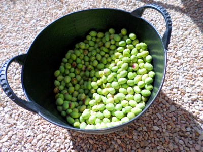 olivas morrudas