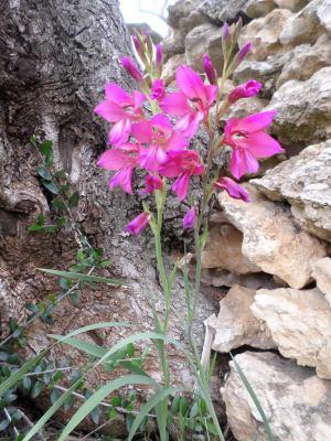 gladiolo de monte