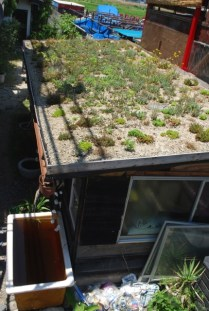 green (living) roof - planted 1 year ago