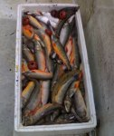 pescato foto Salmerini del Lario