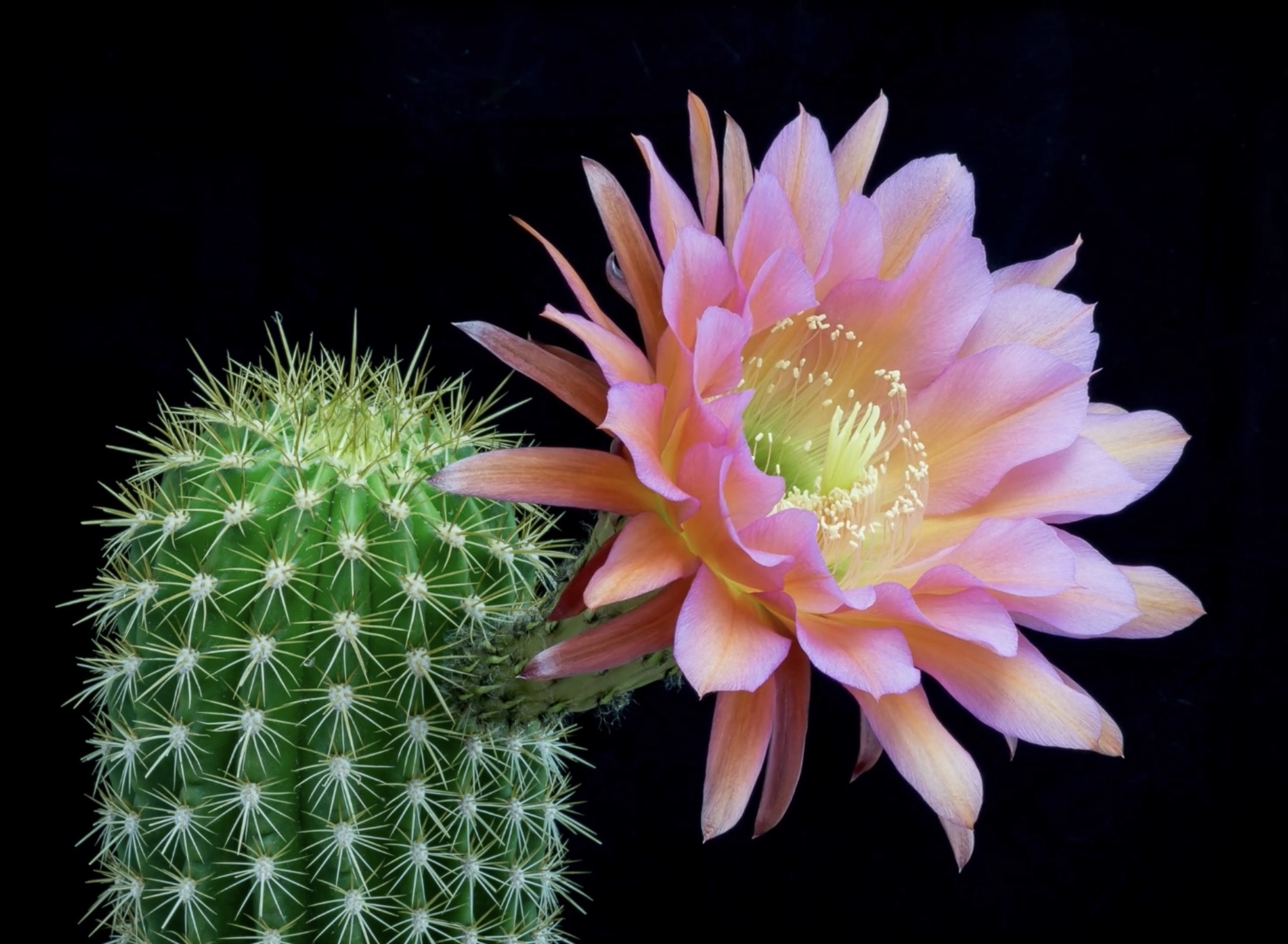 This image has an empty alt attribute; its file name is cactus-fiore.jpeg
