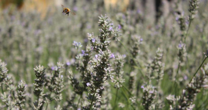 Erba/ Il sabato delle api