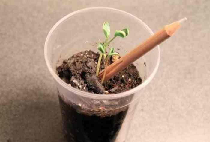 Sprout. Un lápiz con semilla