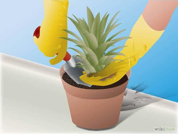 germinar piña 4