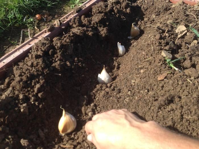 Como sembrar ajos en el huerto